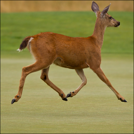 A deer races across the fifth green during the quarterfinal round of match play. (Copyright USGA/Steven Gibbons)